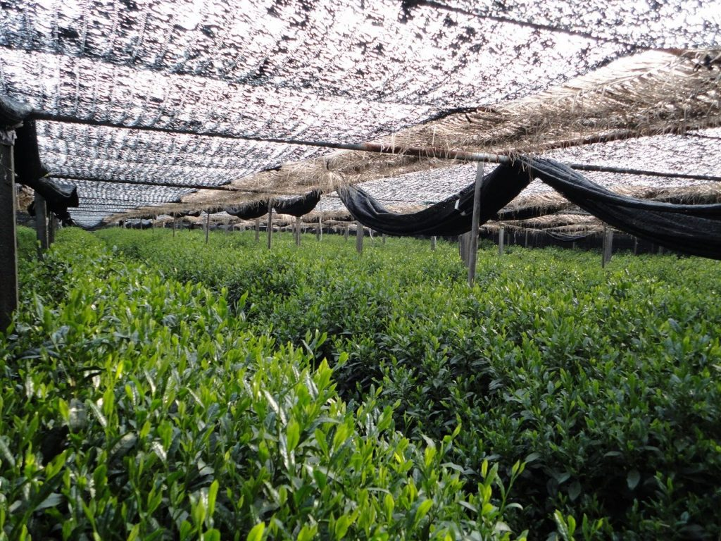 Shading tencha tea farm in Uju